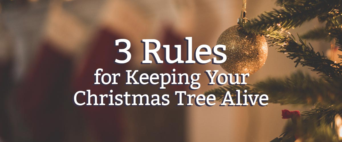 3 rules for keeping your christmas tree alive
